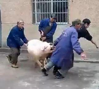 记忆:萍乡农村杀猪视频.....
