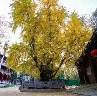 美不胜收!郑州市区最古老的银杏树,树龄1200年!你知道在哪吗?