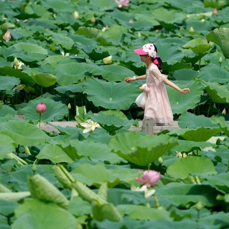 开了!郑州荷花美图大放送,惊艳整个夏天!
