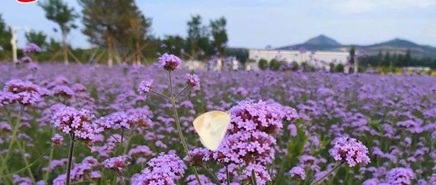 快看!建平湿地公园的紫色花海,着实美的让人心醉!太漂亮啦!