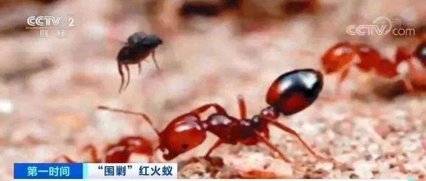 """红火蚁""""逼近""""!别让第一只踏进安徽!"""