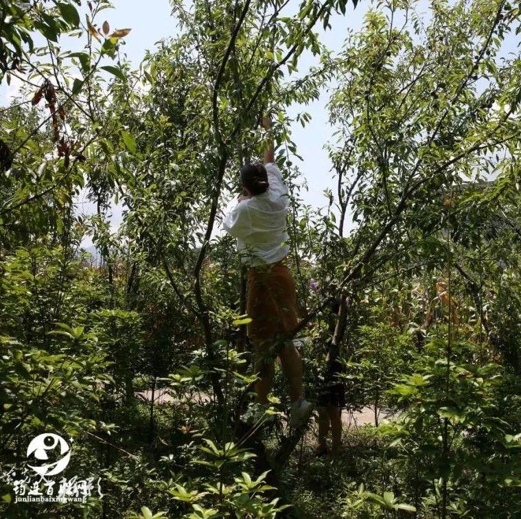 筠连一美女老总爬上大树摘李子,知道原因后人们都为她点赞!