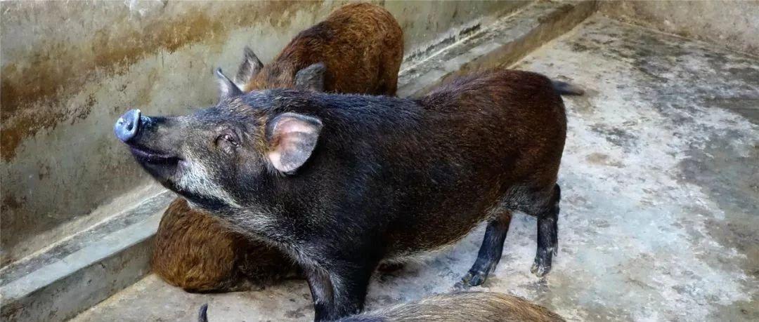 """筠连金凤村养了那么多的野猪,竟全部都是这帮""""特殊群体""""的"""