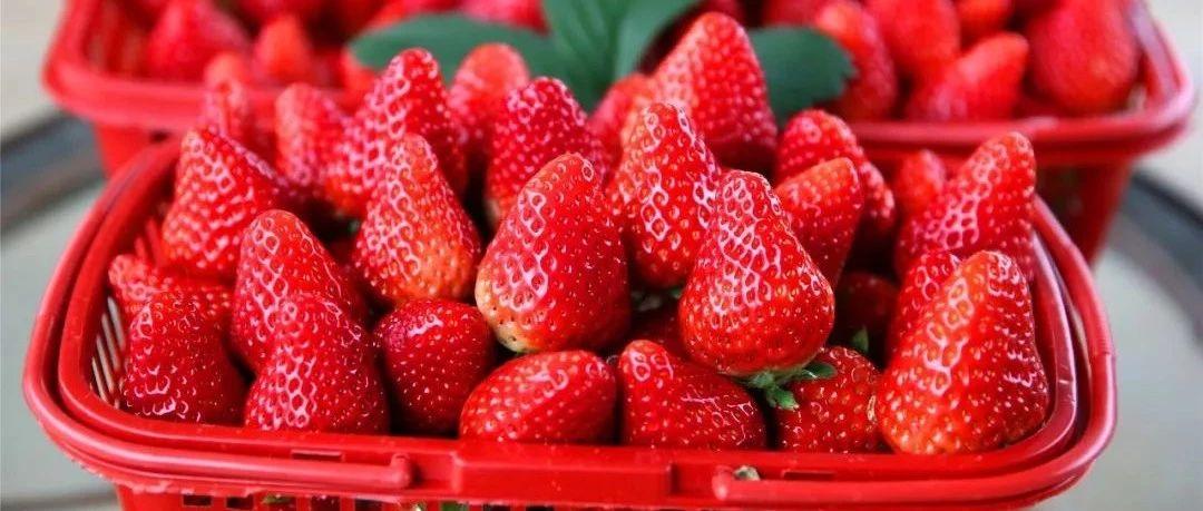 筠连联络的草莓红了,没有一个吃货是可以忍住口水看完这篇文章的!