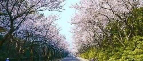 天来豪庭景观示范区即将全面呈现,300米的樱花大道已初具雏形