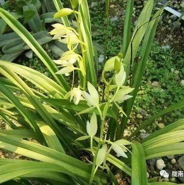 陇南爱好花卉的朋友请注意!采挖和收购出售野生兰科植物将涉嫌犯罪