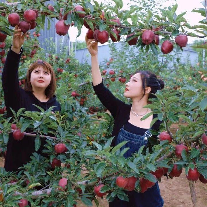 """陇南:苹果产业后整理,红苹果整出""""金苹果"""""""