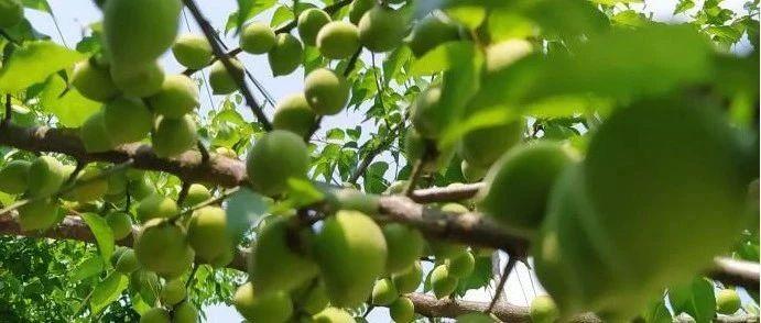 揭西人一看就忍不住流口水的果子,已经挂满枝