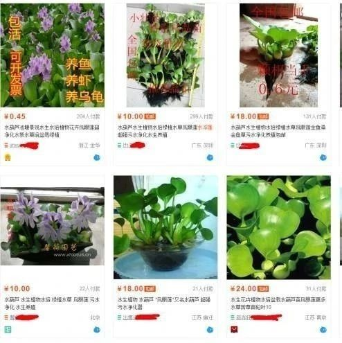 让揭西人头疼的植物,一斤能卖20元?!