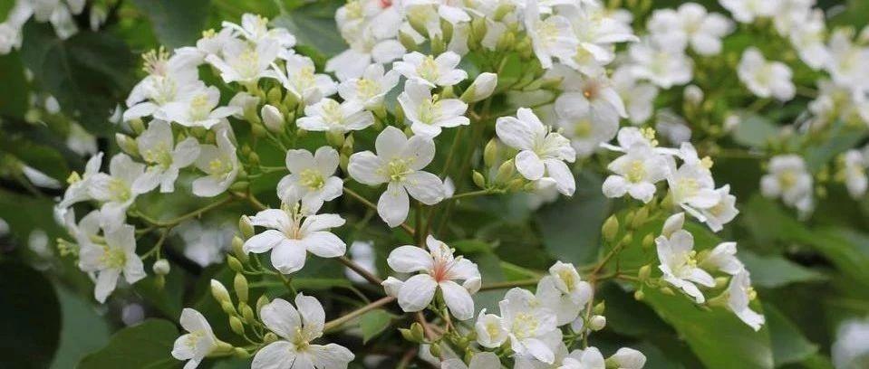 人间最美四月天,揭西油桐花开满树白,赶快来打卡吧!