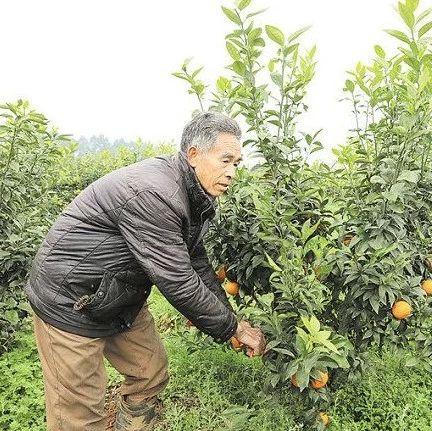 秸秆变形记――新型农机变废为宝,夹江农民们的福音