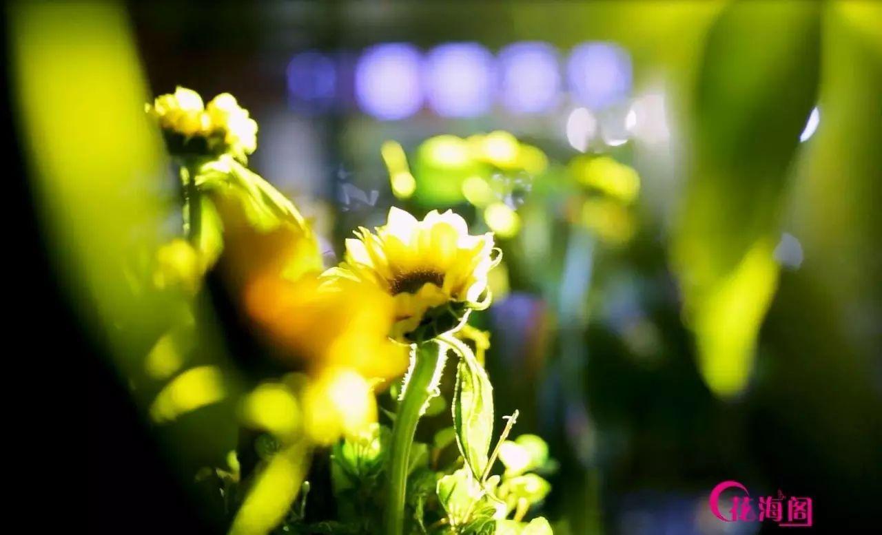 宿州市花海阁婚庆策划有限公司――向日葵