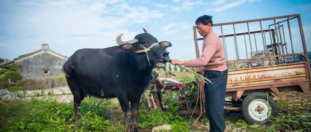 周末食咩个|全网首发,揭西棉湖甲埔村古法牛铃制作全过程