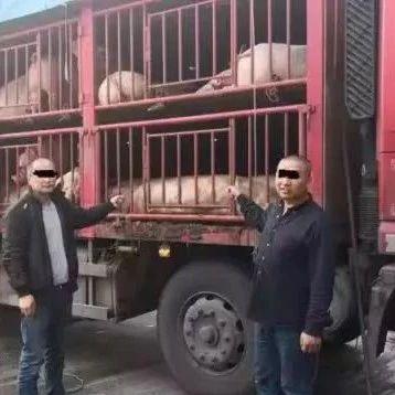 货车非法载生猪运往揭阳被截获猪全被扑杀掩埋