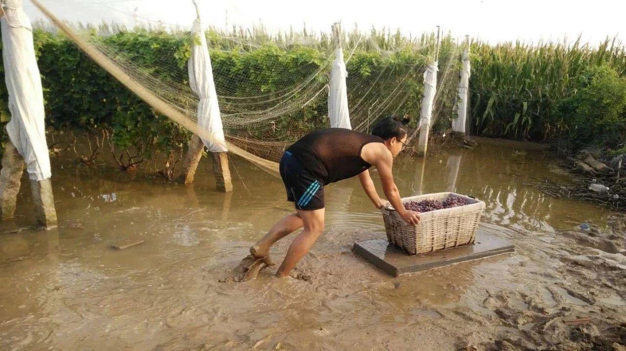 帮帮果农!六户300万斤葡萄就要烂了!