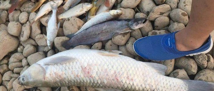 河水发黑发臭!东营广利河附近惊现大量死鱼!