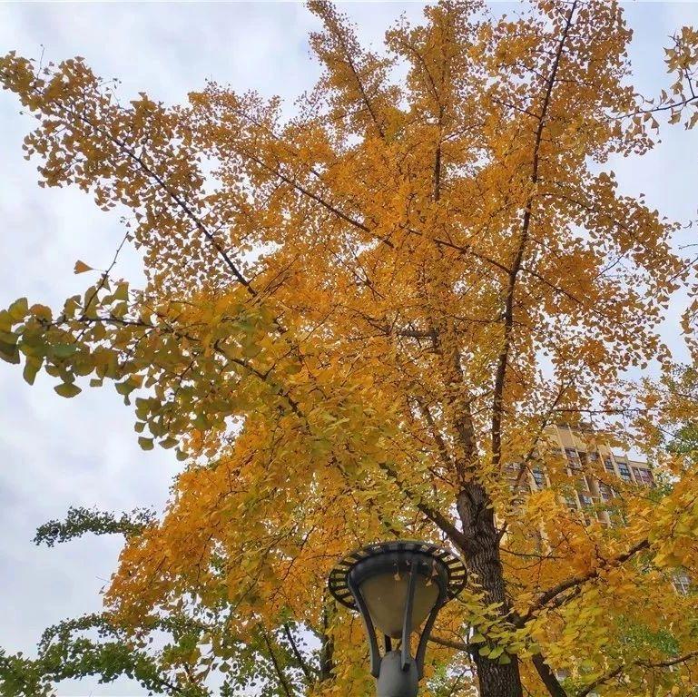 盐亭的秋冬街头最美最靓风景线!赏银杏!这些地方不容错过!