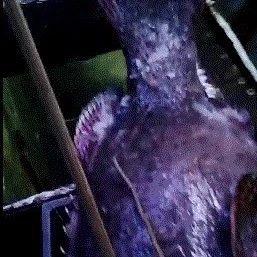 �l�了!潮汕�O民禁港前,捕�频揭�l159斤石斑�~!