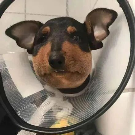 狗子好奇对蜜蜂闻了下,结果脸肿得跟包子一样,忍不住想笑!网友:看什么?笑啊!!