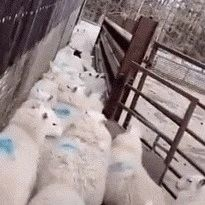 第一次看到边牧这样赶羊,这智商我服了,好厉害!
