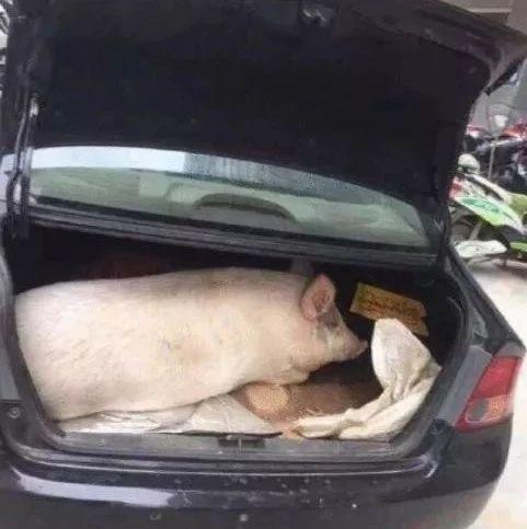 今天,网友狂晒十一返程后备箱!最夸张:父母放了一头猪进去…