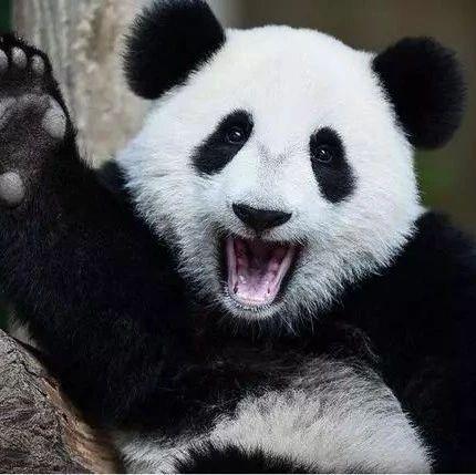 全球唯一被退货的大熊猫,4年租期2年就回国,动物园:养不起!