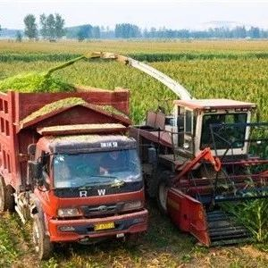 """石桥镇的玉米种植有""""特点"""""""