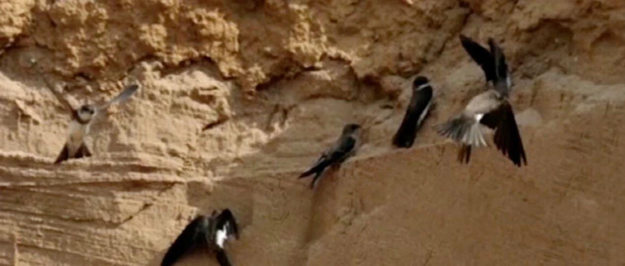 一群小燕子改�一村人
