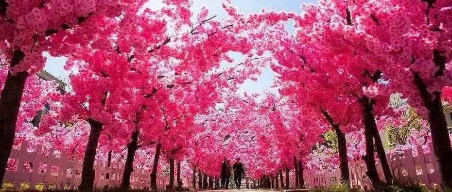 每人3张票,免费领!睢县(云腾)第四届樱花旅游文化节!桃花梨花花海浪漫来袭