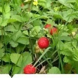 阜阳人小时候常见又叫不上名的植物,终于知道叫啥了,太全了,快收藏!