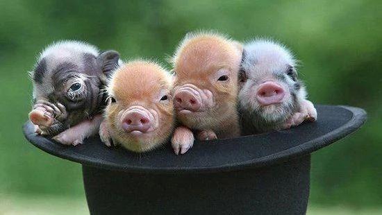 扑杀173头猪,郑州猪O型口蹄疫疫情已控制!