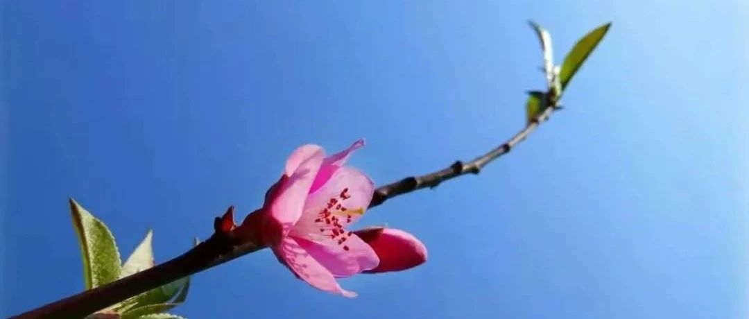 桃红又见一年春,沅陵,春天正在来的路上!