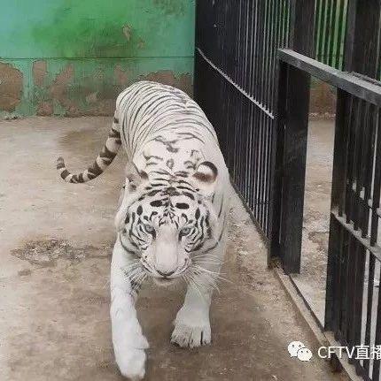"""赤峰动物园里的白虎要找""""奶妈""""这到底是怎么回事?"""