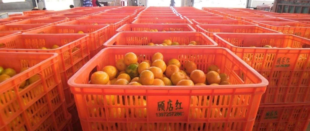 """""""顾店红""""柑橘火了,销往韩国350吨!"""
