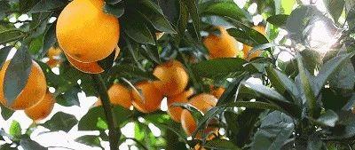 脐橙采摘旅游季丨我为脐橙代言,随手拍拿大奖,于都橙园等你来!