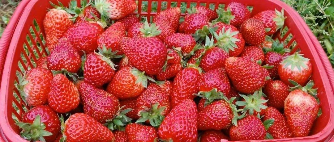 于都这些超赞的水果采摘地,您到过几处?
