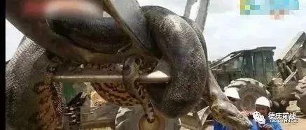 惊!工地挖出400公斤大蛇,真系大到你唔信!