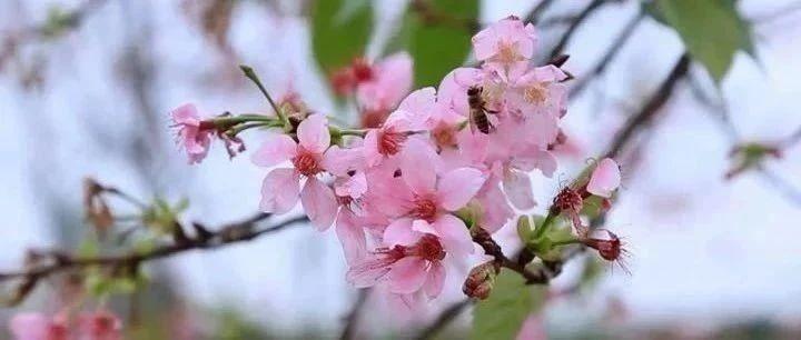 揭西网红打卡地的樱花盛开了,太美了!