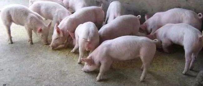 揭西猪肉价格飞涨!省下达养猪令!揭阳任务110万头!