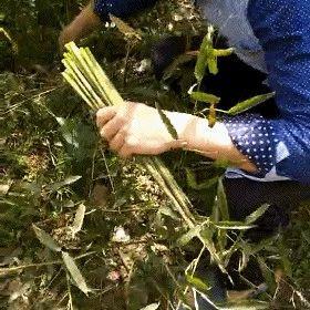 最近,湖口农村很多人成群结队走进荒山竹林里,只为找这个!