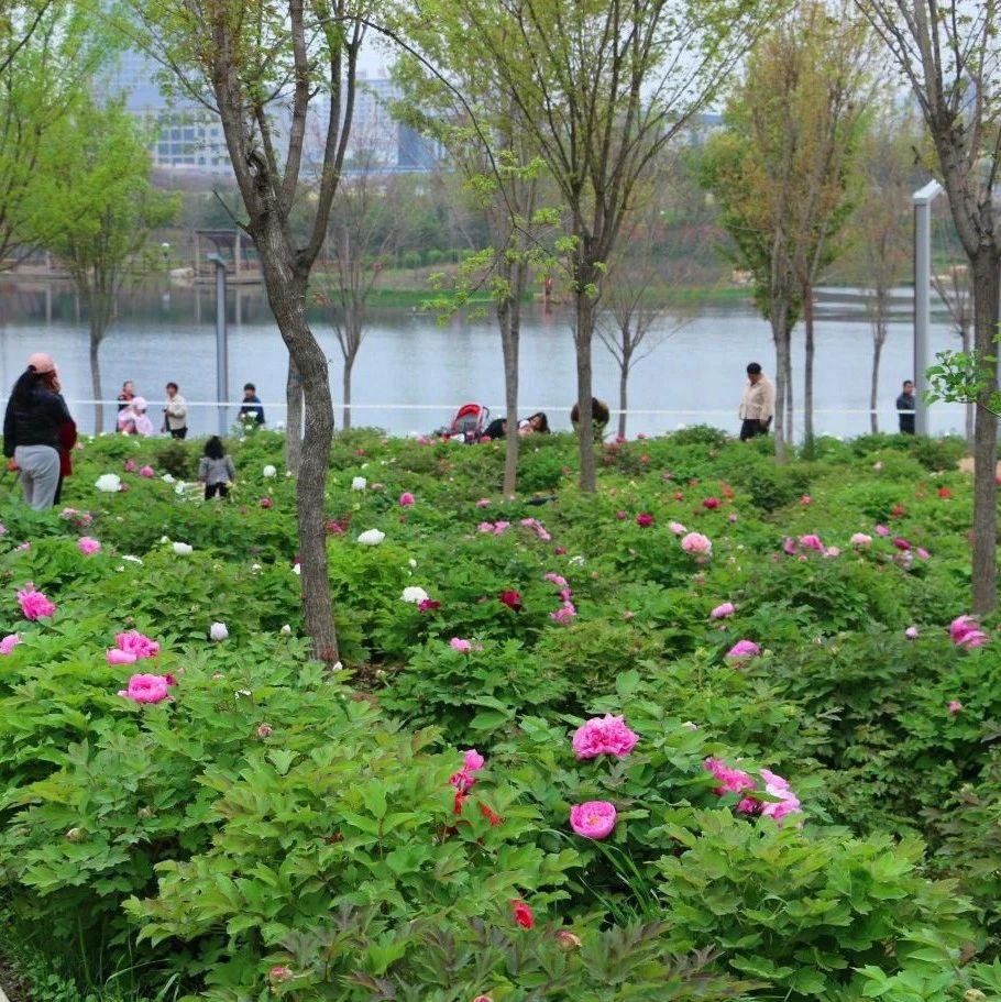 汝州中央公园:牡丹花开,静待君来