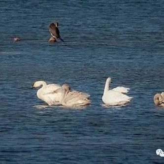 大美汝州――-白天鹅在北汝河栖息(2019.11.18摄于汝州市北汝河)
