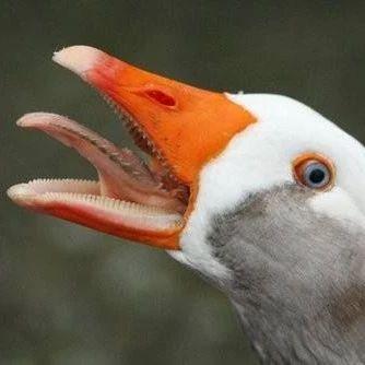 【荐读】论一只鹅的战斗力有多强,击败它的方法竟然是……