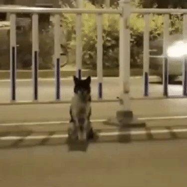 现实版忠犬八公!女主人被撞身亡,小狗原地守候80多天