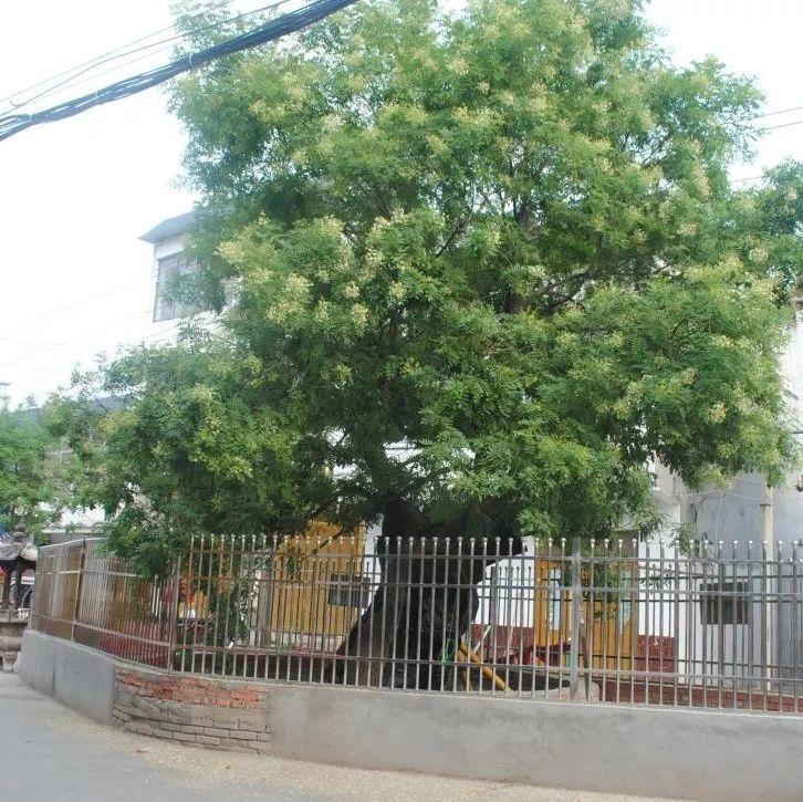 临泉姜寨镇两棵树龄500多年的古槐,开花啦!