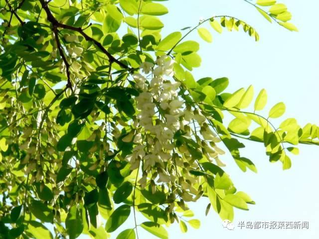 """五月份去大青山摘槐花吧!""""紫��府""""第五�么笄嗌交被ü�即�㈤_幕。"""