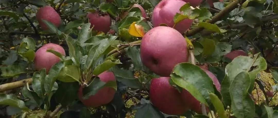 石林�L湖2019年阿著底�O果文化旅游�10月19日�c您有�s!