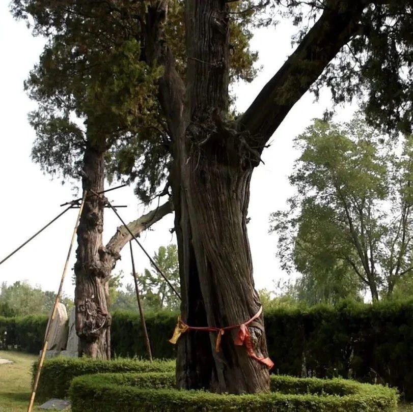 长葛古社柏:2000年前被钉入钢钉、树干上还长出了一颗猴头…