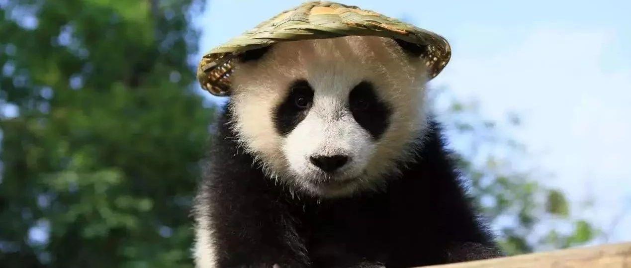 历史首次!三只大熊猫将在江西野化放归