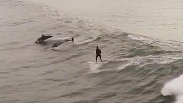羡慕!无人机拍下海豚同冲浪者一齐弄潮画面